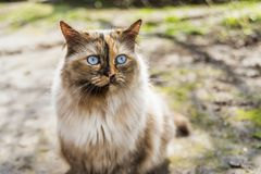 Blue eye cat. Fluffy cat with bright blue eye looking away by sunny day Royalty Free Stock Photography
