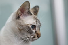 Blue Eye Cat Looking. Domestic thia Blue eye Cat Looking forward Royalty Free Stock Photos