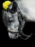 Blue-eye gray pony. With yellow artificial flower Royalty Free Stock Image