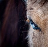 Blue eye of a horse closeup. Blue eye of a horse close up view Royalty Free Stock Photo