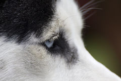 Blue Eye of A Husky Dog Stock Photography