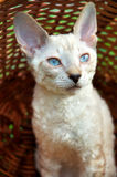 Blue-eye kitten in basket. Blue-eye kitten sit in basket Royalty Free Stock Image