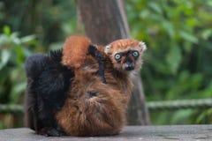Blue-eye lemur does gimastic on a shelf. Blue-eyed lemur does gimastic on a shelf and is known for its blue eyes royalty free stock photography