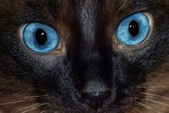 Serious surprised look of Siamese cat close-up royalty free stock images