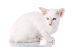 Blue eye Siamese kitten, isolated on white Royalty Free Stock Photos
