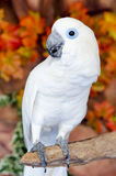 Blue eye White Macaw parrot Royalty Free Stock Photography