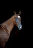Blue eyed akhal-teke horse Stock Image