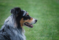 Blue-Eyed Aussie. Profile view of a blue-eyed purebred australian shepherd dog Stock Image