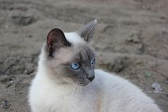 Blue-eyed cat sitting outside. Blue-eyed beautiful cat sit outdoor outside sand watch and think smart, focused look Royalty Free Stock Photos