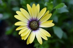 Blue Eyed Beauty African Daisy. Close up/macro shot of a yellow flower Stock Photography