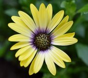 Blue Eyed Beauty African Daisy. Close up of a yellow flower Royalty Free Stock Photography