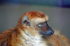 Blue-eyed black lemur. (Eulemur flavifrons), also known as Sclater's lemur, head and shoulders with the face in profile. Blue and grey background Stock Photos
