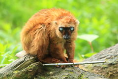 Blue-eyed black lemur. Sitting on the wood trunk Royalty Free Stock Photos