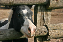 Blue eyed black and white pony Royalty Free Stock Images
