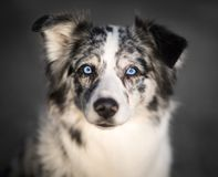 Free Blue Eyed Border Collie - Portrait Stock Photos - 92006033