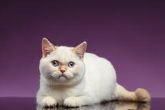 Blue Eyed British Kitten Lies on Purple Royalty Free Stock Image