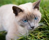 Blue eyed cat. Laying on the garden Royalty Free Stock Photos