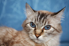 Blue-eyed cat. On a blue background. Close-up look at the camera Stock Image