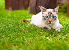 Blue eyed cat. Very cute cat with blue eyes laying in the grass Royalty Free Stock Photos