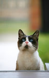 Blue eyed cat. Stock Photography