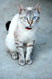 Blue Eyed Cat Royalty Free Stock Photos