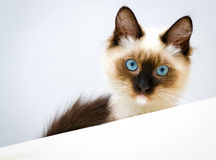 Blue-eyed cat. Cute kitten with blue eyes looking down Royalty Free Stock Photos