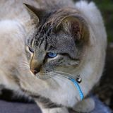 Blue eyed cat. Closeup of blue eyed cat with blue collar and bell Royalty Free Stock Photography