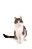 Blue Eyed Cat. Cat sitting with turquoise or blue eyes, isolated on white background Stock Photo