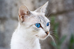 Blue eyed cat Stock Photo