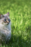 Blue eyed cat. Beautiful blue eyed cat on green grass royalty free stock images