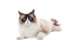Blue Eyed Cat. A furry cat with blue eyes, isolated on a white background Royalty Free Stock Photo