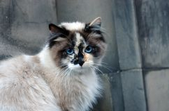 Blue-eyed cat. Beautiful long haired cat with blue eyes Royalty Free Stock Image
