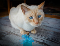 Blue-eyed cat and blue cologne Royalty Free Stock Photo