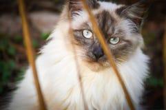 Blue eyed cat. Blue eyed calico cat outdoors Stock Photos