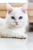 Blue eyed Cat,Cute cats, beautiful cats Stock Photography