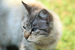 Blue-eyed cat. The detail of blue-eyed cat Stock Photos