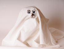 Blue-eyed cat dressed as ghost in sheet with slits for the eyes and nose. Blue-eyed white cat dressed as ghost in sheet with slits for the eyes and nose. Light Royalty Free Stock Photos