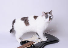 Blue-eyed cat on the electric guitar. Blue-eyed cat on the black and white electric guitar Stock Images