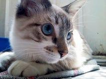Blue eyed cat. Gorgeous blue eyes Stock Photos