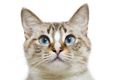 Blue eyed cat head. Funny young cat with blue eyes Royalty Free Stock Images