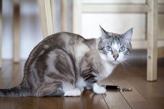 Blue eyed cat Stock Photo