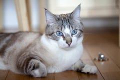 Blue eyed cat Stock Image
