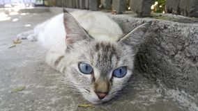 Blue-eyed cat lays in the shade hiding from the hot sun. Royalty Free Stock Image