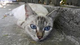 Blue-eyed cat lays in the shade hiding from the hot sun. Stock Photos