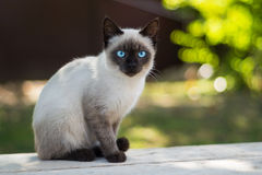 Blue eyed cat looks at the camera Royalty Free Stock Image