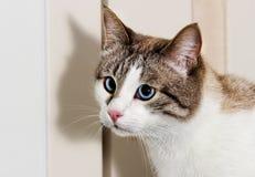 Blue-eyed cat looks. Muzzle blue-eyed cat looks Stock Image