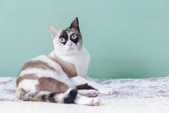 Blue eyed cat. cat lying on bed. cat look at camera with green color background. cat thai.  Stock Images