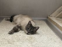 Blue-eyed cat lying on the carpet and smiling, white interior royalty free stock photography