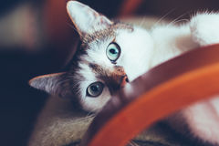 Blue eyed cat lying on chair Royalty Free Stock Photos
