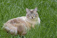 Blue Eyed Cat Lying in Grass Royalty Free Stock Photography